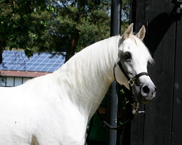 Gold Premium Stallion FANTAST ( Nagadir - Facecija)
