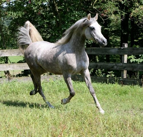 Stallion AL KAZAN ( Nagadir - Korona)
