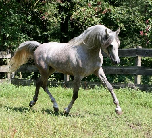 Stallion AL KAZAN (Nagadir - Korona)